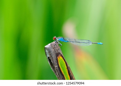 The small red-eyed damselfly (Erythromma viridulum) is a member of the damselfly family Coenagrionidae. Dragonfly, male.