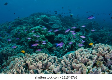 Small reef fish, including fairy basslets and damselfish, swim above a reef within the Bunaken National Marine Park in Indonesia.  This area is known for its marine diversity and great scuba diving.