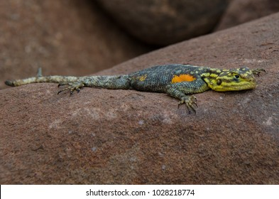 small reptile lizard on a stone in Africa, damaraland