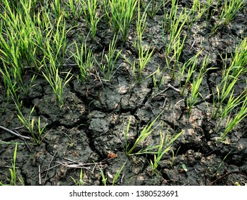 Small rice plants that are beginning to dry up due to lack of water in dry and cracked ground. Clay ground The drought in rice fields caused by drought in north of thailand.
