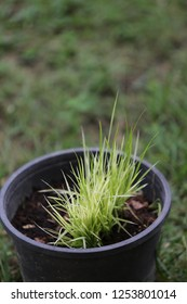 small rice tree in the black pot