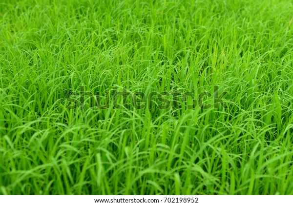 Small rice tree in farm at Thailand