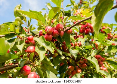 small ripe apples on a tree against the sky