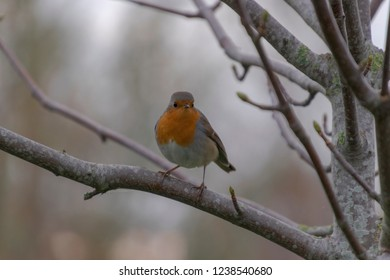 Small robin perched on a branch in the winter and looking at the camera.