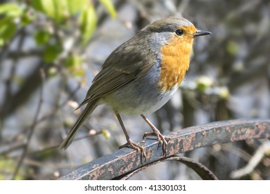 Small robin perched on a garden gate