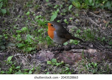 A small Robin red breast on the ground