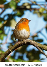 A small robin sat on a tree branch