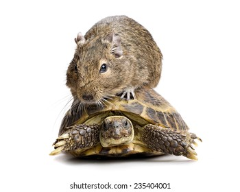 small rodent riding turtle, full-size front view isolated on white background