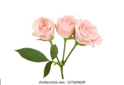 small roses isolated on white background