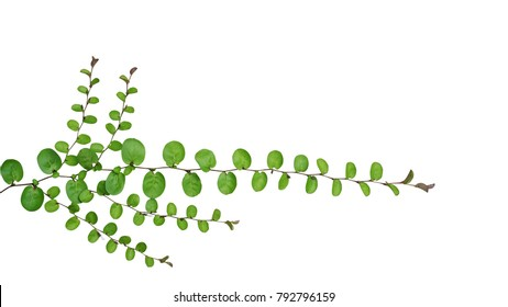 Small round leaves of ground cover creeping plant, Roundleaf bindweed (Evolvulus nummularius) isolated on white background, clipping path included.