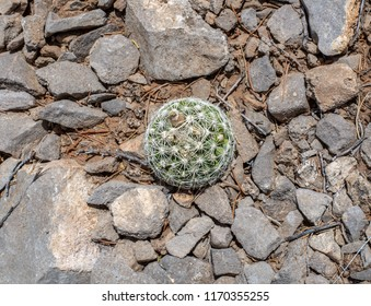 A small round perfect common viviparous foxtail cactus (Escopaia vivipara) in fruit