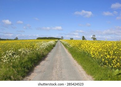 a small rural road cutting through mustard crops in the yorkshire wolds england under a blue sky in summer