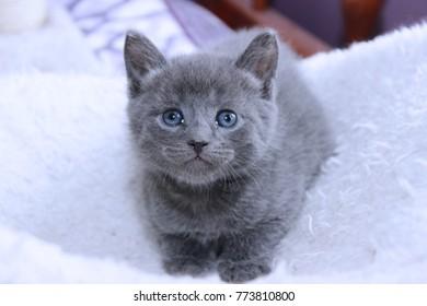 SMALL RUSSIAN BLUE KITTEN