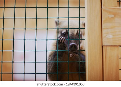 Small sad alone coati is looking from cage, abuse animal concept