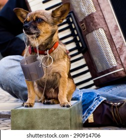 A small sad dog collecting money for a street musician