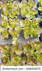 Small salad plants in pots kitchen herbal garden in spring.