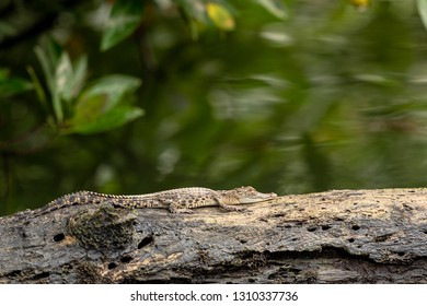 A small saltwater crocodile rests on tree trunk in Sungei Buloh wetland reserve.