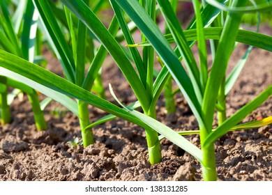 Small sapling of garlic.