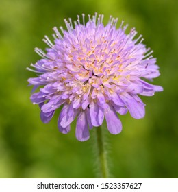 Small Scabious (Scabiosa columbaria), closeup of flower