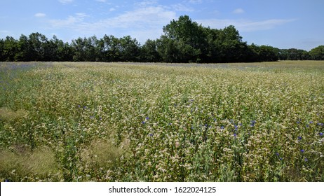 small scaled white buckwheat field (Fagopyrum esculentum) scattered with blue cornflowers (Centaurea cyanus). Wildflowers return in crop fields if farmers use less fertilizer.