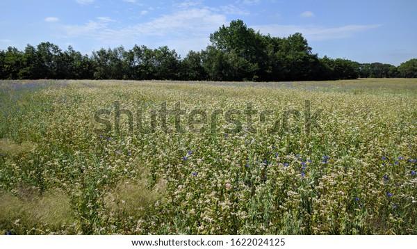 small scaled white buckwheat field (Fagopyrum esculentum) scattered with blue cornflowers (Centaurea cyanus). Wildflowers return in crop fields if farmers use less fertilizer.