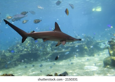 Small Scalloped Hammerhead Shark (Sphyrna lewini) swimming over fish filled coral reef.