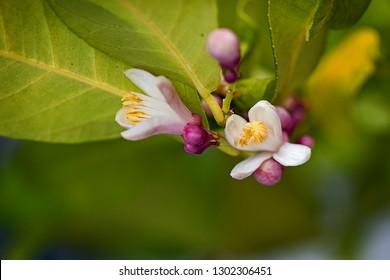 Small scented white lemon tree flowers.