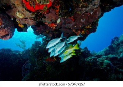 A Small School of Snapper Under a Coral Ledge in Cozumel, Mexico