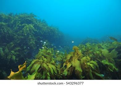 Small school of sweeps Scorpis lineolata hiding among fronds of kelp Ecklonia radiata.