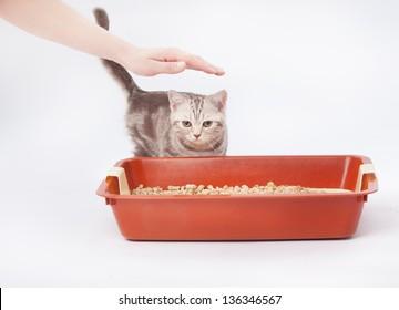 Small scottish kitten next to red plastic litter cat