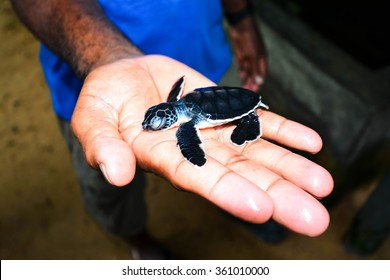 Small Sea Turtle On Hand At Kosgoda Sea Turtle Conservation Project In Kosgoda, Sri Lanka. Kosgoda Lagoon Is Perfect Place For Watching Turtles And Turtle Hatcheries