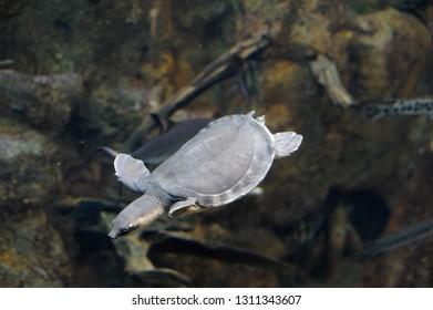 Small sea turtle is swimming