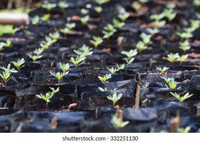 Small seedlings of Cosmos flower in black potting soil, arranged in a row, so be prepared to have grown at the nursery.