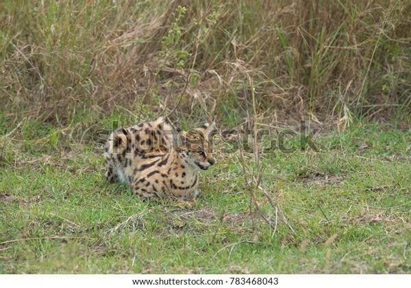 Small Serval cat hunting in the long grass. Serengeti, Tanzania