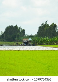 A small shack n the middle of a lush green rice paddy in Vietnam. It is beside a square pond. A row of palm trees serves as a wind break, and more trees are in the background. The sky is overcast.