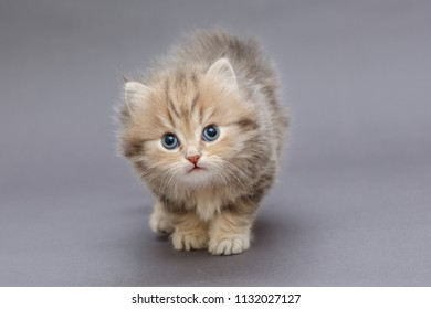 Small shaggy kitten British breed, on a gray background