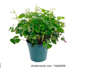 Small Shamrock plant In A Green Plant Pot