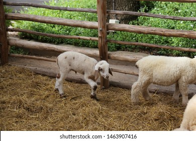 small sheep in the farm