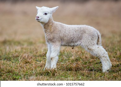 Small Sheep - goat hybrid baby