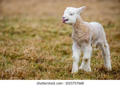 Small Sheep - goat hybrid baby
