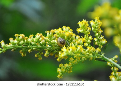 Small shell on solidago canadensis (Canada goldenrod, Canadian goldenrod) blurry background, close up detail, top view