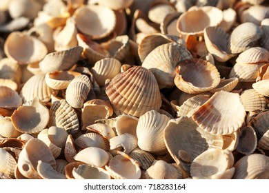 a lot of small shells in one place, broken and whole