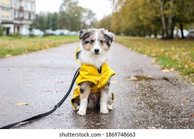 Small sheltie puppy sitting on pedestrian path with yellow rain coat jacket. Photo taken on a cloudy autumn day.