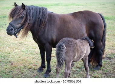 Small Shetland ponies foal and mare