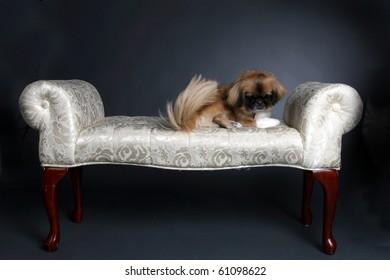 small shiatsu dog sitting on white princess bench