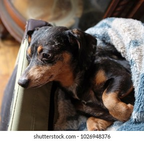 Small short-hair dachshund cuddling in blanket in natural light from window