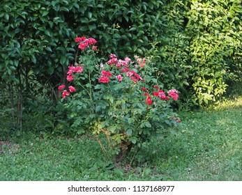 Small shrub, rosebush.