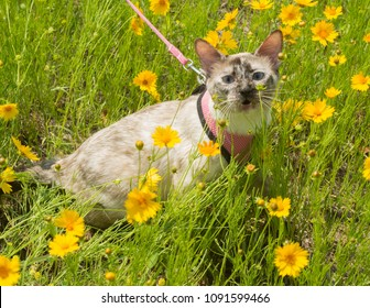 Small Siamese tortie point cat on leash in yellow wildflowers