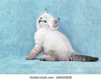 Small siberian neva masquerade colorpoint kitten