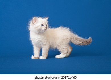 Small Siberian Neva Masquerade kitten on blue background